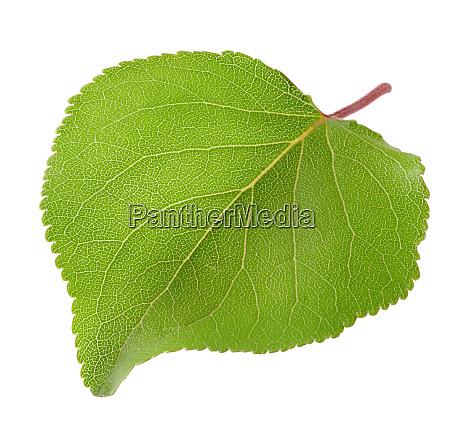 green, leaf, of, apricot - 28278776