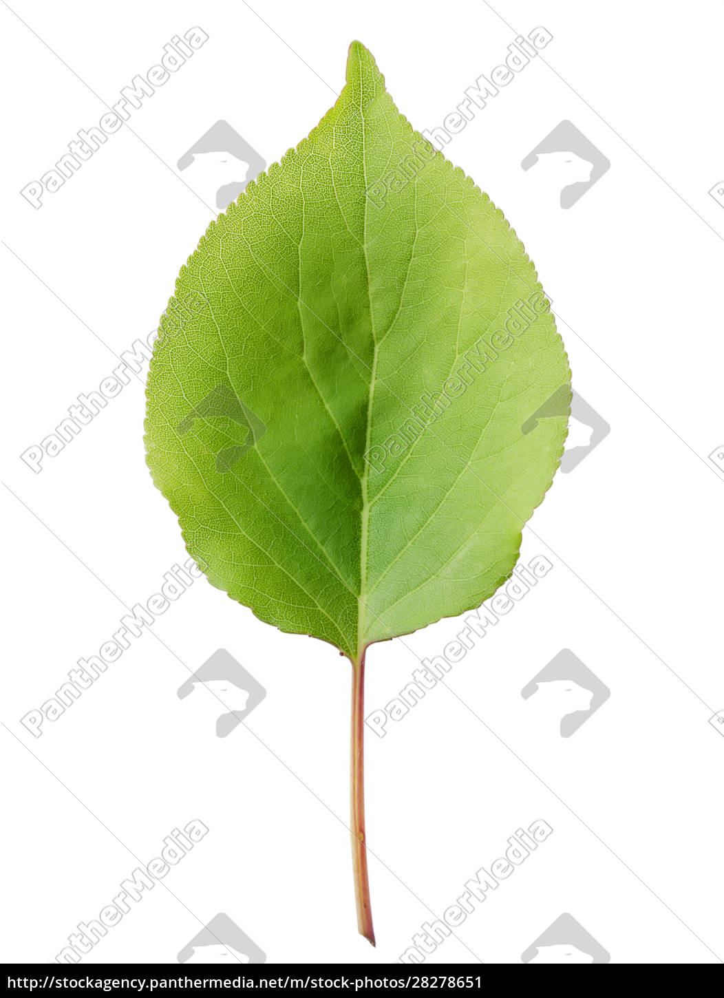 leaves, of, apricot - 28278651