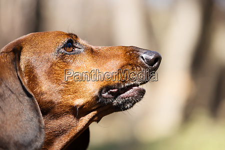 muzzle, hunting, dog, breed, dachshund - 28278780