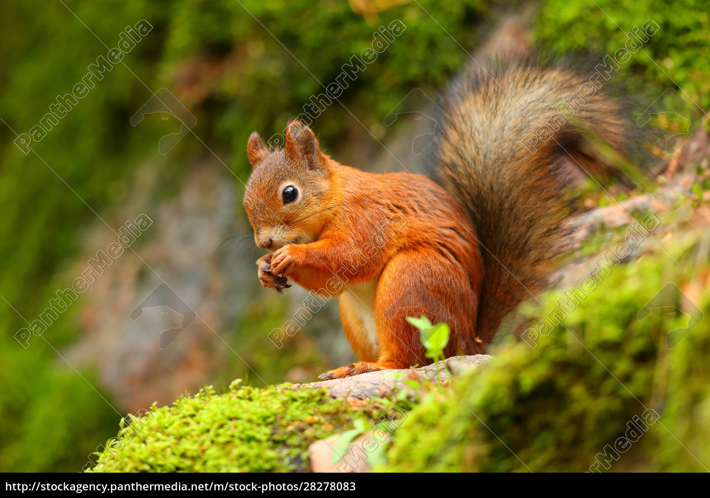 red, squirrel, eating, with, green, background - 28278083