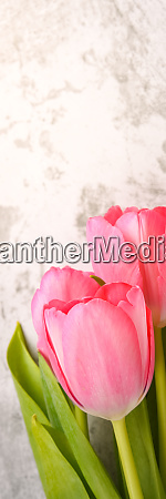 tulips, are, bright, , fresh, , pink, on - 28278560