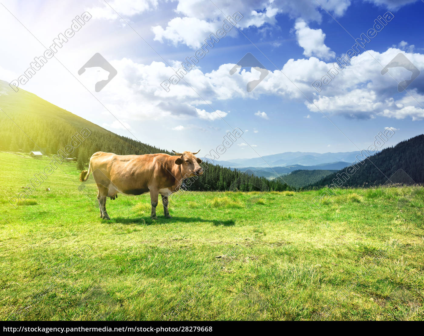 beige, cow, on, lush, pastures - 28279668