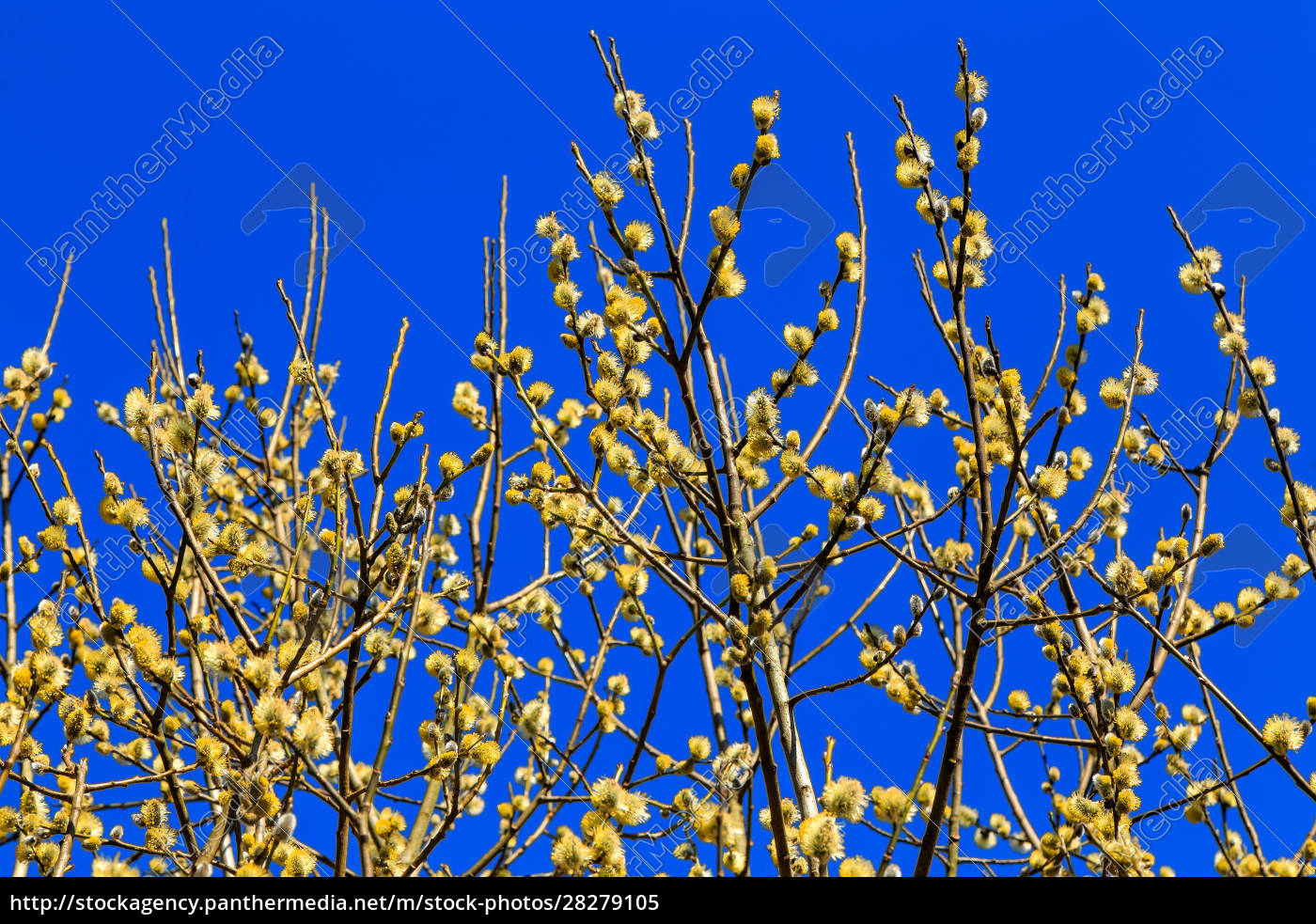 blooming, yellow, willow - 28279105