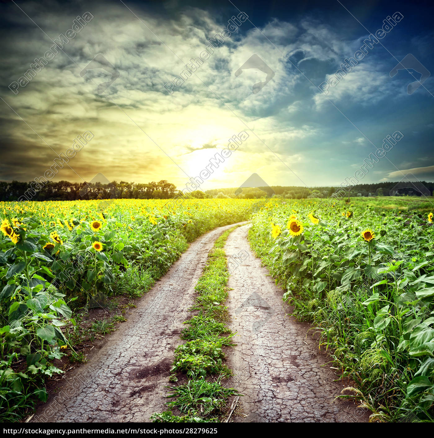 country, road, among, sunflowers - 28279625
