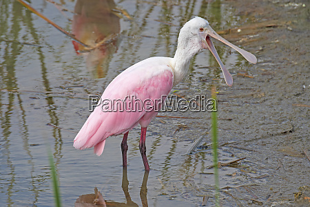 roseate, spoonbill, showing, a, very, open - 28279939