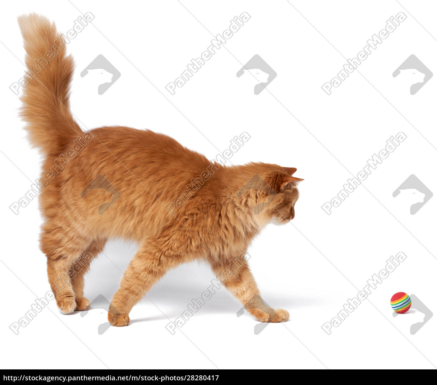 adult, fluffy, red, cat, plays, with - 28280417