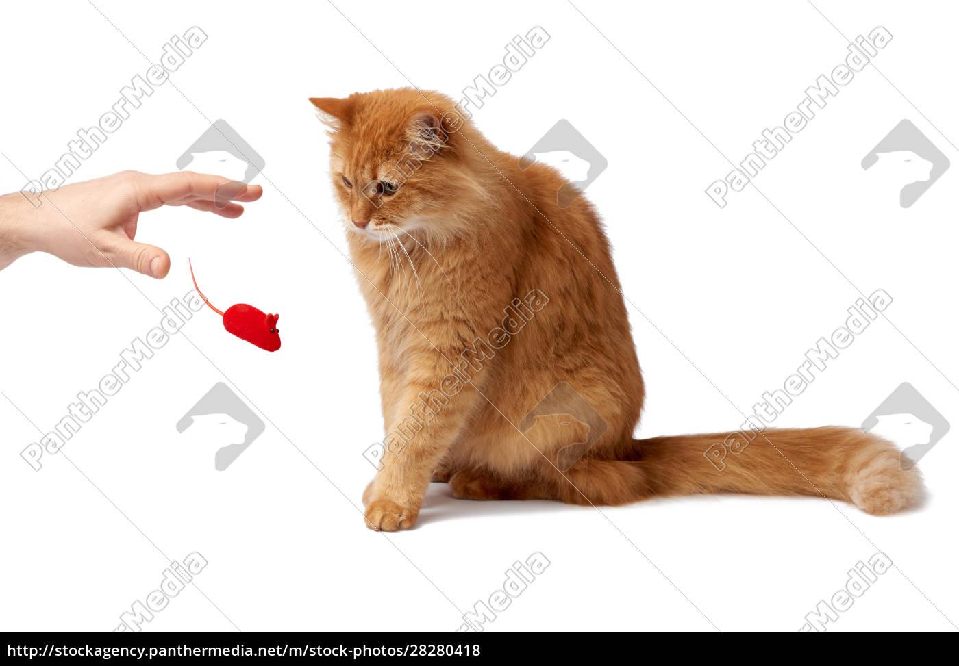 adult, fluffy, red, cat, sits, sideways, - 28280418