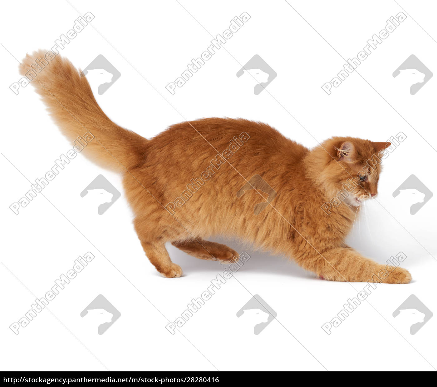 big, adult, fluffy, red, cat, in - 28280416