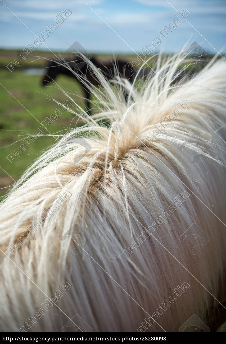 close, up, of, icelandic, horse, in - 28280098