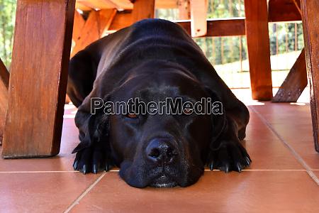 a black labrador laying on tiles