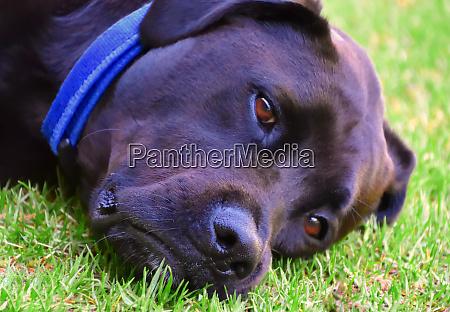 a black labrador laying on grass