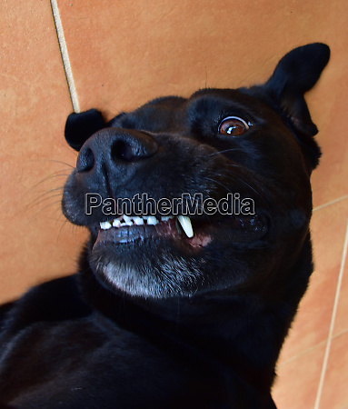 a black labrador smiling while getting