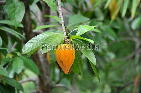 yellow fruit on bohol philippines