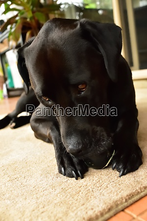 a black labrador chewing an old