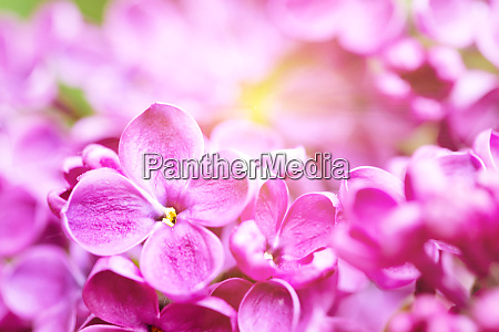 bright lilac flower with sun rays