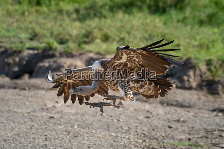 ruppell griffon vulture stretches claws to