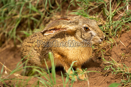 scrub hare sits in grass watching