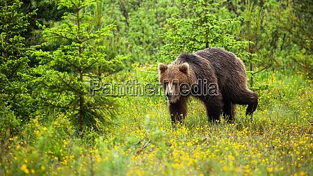 cute young bear walking in natural