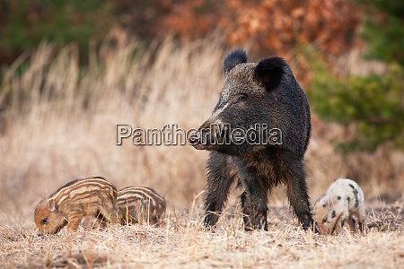 peaceful wild boar herd with adult