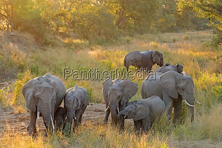 african elephant herd kruger national