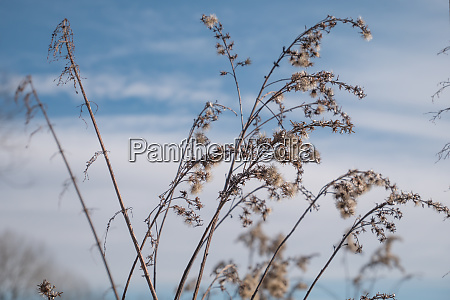 reed grass against the sky