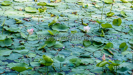 green lotus water lily flower on