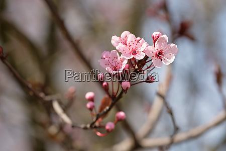 pink flowers of cherry plum tree