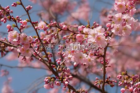 pink flowers of cherry tree prunus