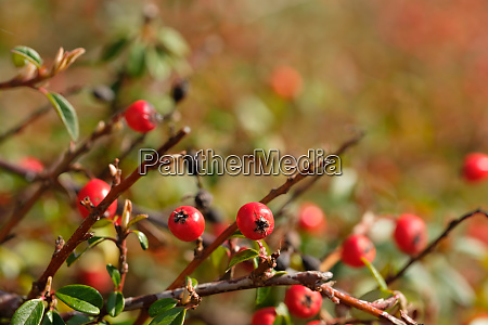 red fruits of cotoneaster hedge