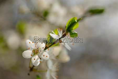 white flowers of a fruit tree
