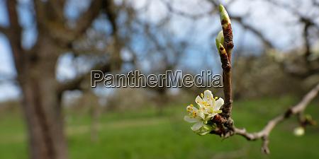 white flowers fruit tree in spring