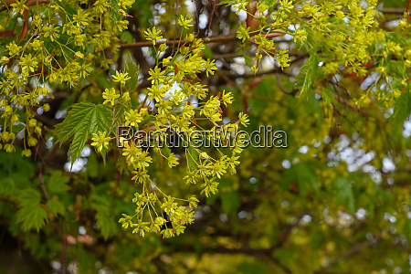 green yellow blossom of maple tree