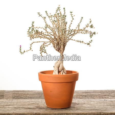 succulent plant trichodiadema bulbosum