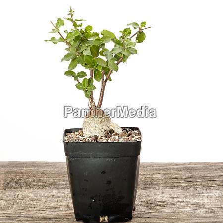 succulent plant focke edulis