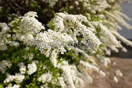 white flower of spirea plant