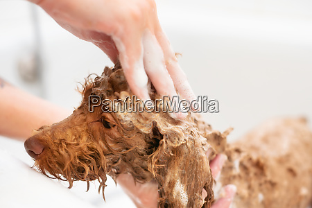 washing poodle dog in pet grooming