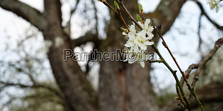 orchard with white flowers