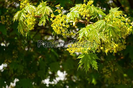 blossom maple tree