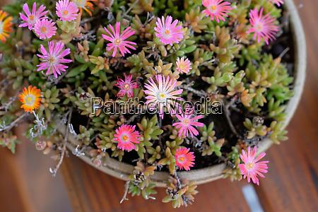 delosperma violet pink flowers in top