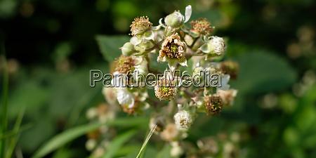 blackberrey flowers and buds