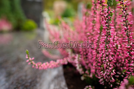calluna plant with pink flowers