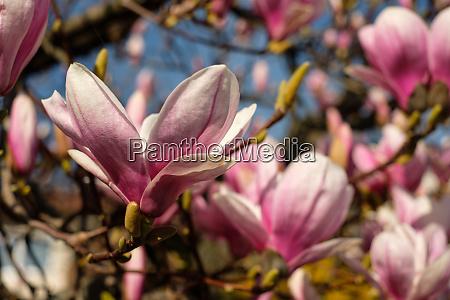 flower of magnolia