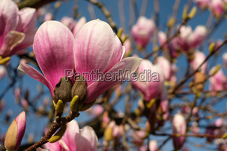 pink magnolia flower close up