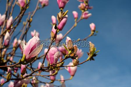 magnolia tree with flowers