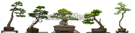 bonsai conifer trees from japan