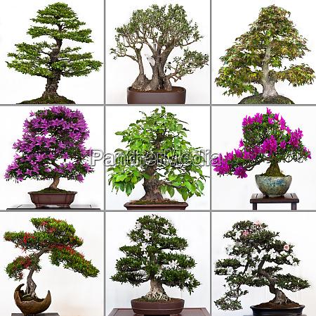 collection bonsai trees