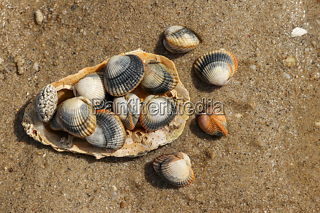 common cockles on the sand