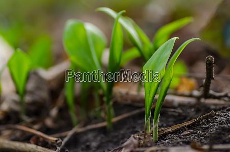 fresh wild garlic
