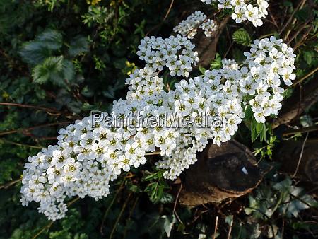 garland spiraea spiraea arguta inflorescence in