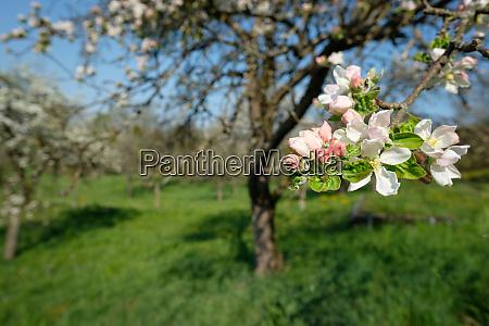 pink white flower of apple tree